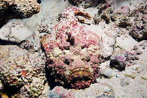 Stonefish (Synanceja verrucosa) camouflaged on coral reef, Egypt, Red Sea. - Georgette Douwma