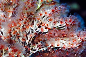 Coral worm (Filograna implexa) A colonial species of worm that builds irregular masses of calcereous tubes. Misool, Raja Ampat, West Papua, Indonesia.  -  Georgette Douwma