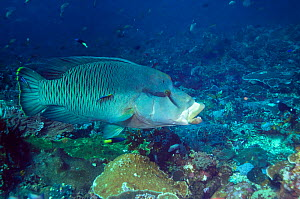 Humphead wrasse (Cheilinus undulatus) attended by two Cleaner wrasses (Labroides dimidiatus). Komodo, Indonesia. Indo-Pacific. - Georgette Douwma