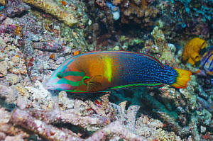 Yellowtail Coris / Clown wrasse (Coris gaimardi) searching for molluscs, crustaceans and urchins in coral rubble. Misool, Raja Ampat, West Papua, Indonesia. - Georgette Douwma