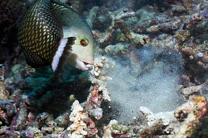 Rockmover / Dragon wrasse (Novaculichthys taeniourus) moving coral rubble to find benthic invertebrates to feed on. Misool, Raja Ampat, West Papua, Indonesia.  -  Georgette Douwma