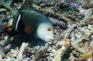 Rockmover or Dragon wrasse (Novaculichthys taeniourus) moving coral rubble to find benthic invertebrates to feed on. Misool, Raja Ampat, West Papua, Indonesia.  -  Georgette Douwma