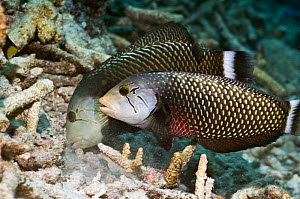 Rockmover or Dragon wrasse (Novaculichthys taeniourus)  working as a pair, moving coral rubble to find benthic invertebrates to feed on. Misool, Raja Ampat, West Papua, Indonesia.  -  Georgette Douwma