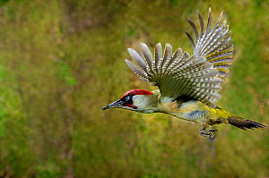 Green woodpecker {Picus viridis} male in flight, Lorraine, France  -  Michel Poinsignon