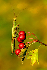 European praying mantis {Mantis religiosa} on hawthorn berries, Lorraine, France  -  Michel Poinsignon