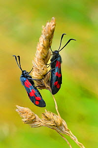 Six spot burnet moths {Zygaena filipendulae) Lorraine, France  -  Michel Poinsignon