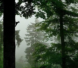 Silhouette of Black woodpecker {Dryocopus martius}at nest hole in tree trunk in mist / rain, ancient forest, Vosges mountains, Lorraine, France  -  Poinsignon and Hackel
