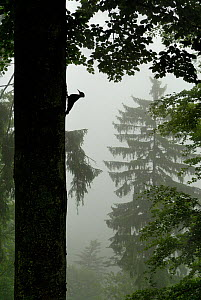 Sillhouette of Black woodpecker {Dryocopus martius} at nest hole in tree trunk in mist / rain, ancient forest, Vosges mountains, Lorraine, France  -  Poinsignon and Hackel
