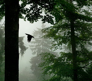 Sillhouette of Black woodpecker {Dryocopus martius} flying from nest hole in tree trunk in mist / rain, ancient forest, Vosges mountains, Lorraine, France. Overall winner and winner of the Birds categ...  -  Poinsignon and Hackel