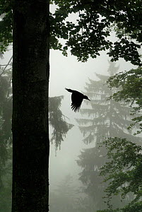 Sillhouette of Black woodpecker {Dryocopus martius} flying from nest hole in tree trunk in mist / rain, ancient forest, Vosges mountains, Lorraine, France  -  Poinsignon and Hackel