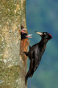 Black woodpecker {Dryocopus martius} male at nest hole feeding chicks, Vosges mountains, Lorraine, France  -  Poinsignon and Hackel