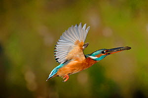 Common kingfisher {Alcedo atthis} female flying to nest with fish in beak, Lorraine, France  -  Poinsignon and Hackel