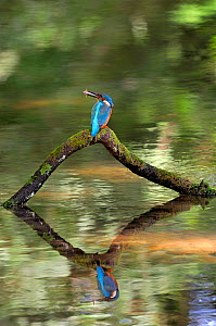Common kingfisher {Alcedo atthis} perched over water with fish in beak, Lorraine, France  -  Poinsignon and Hackel
