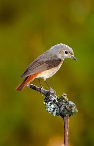 Redstart {Phoenicurus phoenicurus} female perched, Lorraine, France  -  Poinsignon and Hackel