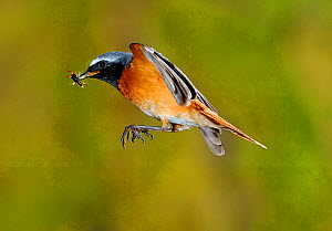 Redstart {Phoenicurus phoenicurus} male flying to nest carrying prey, Lorraine, France  -  Poinsignon and Hackel