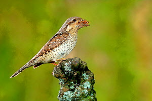 Wryneck {Jynx torquilla} perched on branch with beak full of ant eggs, Lorraine, France  -  Poinsignon and Hackel