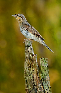 Wryneck {Jynx torquilla} perched on branch, mimicing wood, Lorraine, France  -  Poinsignon and Hackel