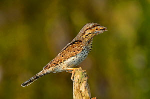 Wryneck {Jynx torquilla} perched on branch with beak full of ant eggs, mimicing wood, Lorraine, France  -  Poinsignon and Hackel