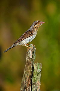 Wryneck {Jynx torquilla} perched on branch with prey in beak, camouflaged as wood, Lorraine, France  -  Poinsignon and Hackel