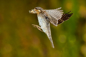 Wryneck {Jynx torquilla} flying to nest hole with prey, Lorraine, France  -  Poinsignon and Hackel