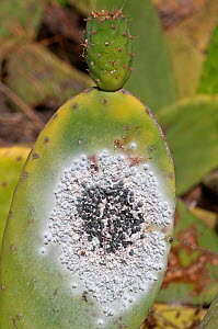 Cochineal insect (Dactylopius coccus) on Prickly pear cactus (Opuntia ficus indica) cultivated for the production of cochineal dye. Guatzia, Lanzarote, Canary Islands  -  Adrian Davies
