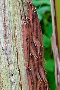 Caterpillar larvae of Owl Butterfly (Caligo sp) grouped together feeding on Palm tree  -  Adrian Davies