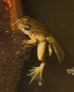 Green Frog (Rana clamitans) froglet with tail remaining, metamorphosing, in man-made pond, Farimount Park, Wissahickon Creek, Pennsylvania, USA  -  Doug Wechsler
