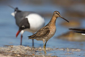 Short-billed Dowitcher (Limnodromus griseus) foraging on shoreline, Delaware Bay, New Jersey, USA - Doug Wechsler