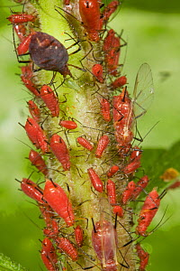 Aphid colony (Uroleucon sp) winged adults and larvae, feeding on Goldenrod (Solidago sp), Pennsylvania, USA  -  Doug Wechsler