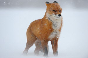 Red fox in a snow storm (Vulpes vulpes) Winter winds on Kamchatka can reach 40 meters a second. Kronotskty Zapovednik, Kamchatka, Russia  -  Igor Shpilenok