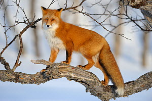 Red fox (Vulpes vulpes) climbing a tree in the snow Kronotsky Zapovednik, Kamchatka, Russia  -  Igor Shpilenok