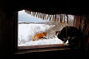 Red fox (Vulpes vulpes) approaching the photographers cabin, where his cat sits in the window. Kronotsky Zapovednik, Kamchatka, Russia  -  Igor Shpilenok
