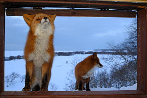 Two Red foxes (Vulpes vulpes) approaching the photographers cabin, where one stands on the open window ledge. Kronotsky Zapovednik, Kamchatka, Russia  -  Igor Shpilenok