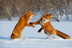 Two Red foxes (Vulpes vulpes) fighting in the snow, Kronotsky Zapovednik, Kamchatka, Russia  -  Igor Shpilenok