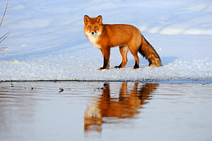 Red Fox (Vulpes vulpes) in snow by river with refelctions, Kronotsky Zapovednik, Kamchatka, Russia  -  Igor Shpilenok
