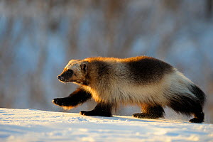Wolverine (Gulo gulo) walking in the snow. Wolverine's paws are large, allowing them to walk easily through deep snow.  Zapovednik, Kamchatka, Russia - Igor Shpilenok