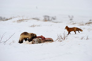 Wolverine (Gulo gulo) and Red fox (Vulpes vulpes) feast on the carcass of a bear that didn't make it through the winter. Kronotsky Zapovednik, Kamchatka, Russia - Igor Shpilenok