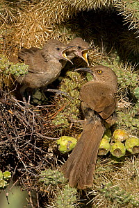 Curve-billed Thrasher chicks (Toxostoma curvirostre) with adult attending young on nest, Arizona, USA  -  John Cancalosi