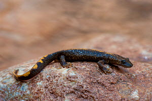 Pyrenean brook salamander (Euproctus asper) resting on the banks of a river, Pyrenees mountains, Europe.  -  Inaki Relanzon