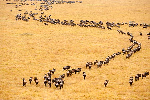 Migrating wildebeest (Connochaetes taurinus) observed from a hot-air balloon, Masai Mara National Reserve, Kenya, Africa. August 2009 - Inaki Relanzon