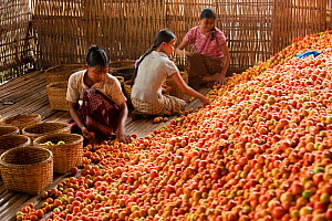 Women working in a tomato factory, Inle Lake, Shan State, Myanmar / Burma.  August 2009  -  Inaki Relanzon