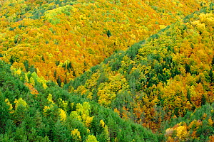 Mixed forest colours in Autumm in the Ordesa and Monte Perdido National Park, Arag�n, Pyrenees, Spain. October 2009 - Inaki Relanzon