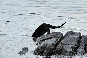 European river otter (Lutra lutra) entering sea from rocks, Ardnamurchan, Scotland, January 2009  -  Wild Wonders of Europe / Campbell