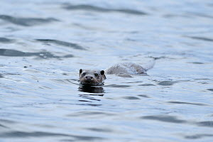 European river otter (Lutra lutra) swimming in sea, Ardnamurchan, Scotland, January 2009  -  Wild Wonders of Europe / Campbell