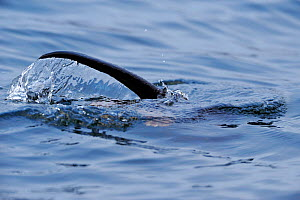 European river otter (Lutra lutra) hunting in sea, tail above water, Ardnamurchan, Scotland, January 2009  -  Wild Wonders of Europe / Campbell