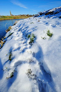European river otter (Lutra lutra) tracks in snow by the River Tweed, Scotland, February 2009 - Wild Wonders of Europe / Campbell