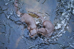 Two juvenile European river otters (Lutra lutra) playing in rapids beneath bridge over River Tweed, Scotland, February 2009 - Wild Wonders of Europe / Campbell