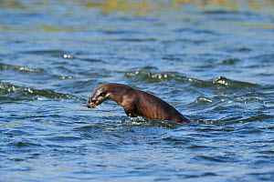 Juvenile European river otter (Lutra lutra) fishing by porpoising, River Tweed, Scotland, March 2009  -  Wild Wonders of Europe / Campbell