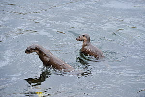 Two juvenile European river otters (Lutra lutra) fishing / foraging by porpoising, River Tweed, Scotland, March 2009  -  Wild Wonders of Europe / Campbell
