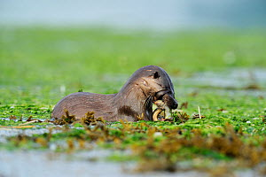 European river otter (Lutra lutra) feeding on eel in estuary of River Tweed, Northumberland, England, July 2009  -  Wild Wonders of Europe / Campbell